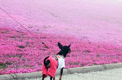 芝桜の丘4
