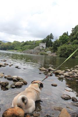 川で遊ぶパグ2